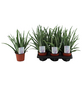 Sukkulente Aloe, Aloe vera, grün, Blüten: gelborange-Thumbnail