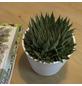 Sukkulente Bebänderte Aloe, Aloe aristata, grün, Blüten: orange-Thumbnail