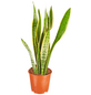 GARTENKRONE Sukkulente Bogenhanf, Sanseveria hybrid, mehrfarbig-Thumbnail