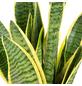 Sukkulente Bogenhanf, Sansevieria trifasciata, zweifarbig-Thumbnail