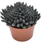 Sukkulente Chinadickblatt, Sinocrassula yunnanensis, schwarz, Blüten: rot-Thumbnail