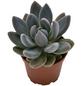 Sukkulente Dickblattgewächs, Pachyphytum kimnachii, mehrfarbig, Blüten: pink-Thumbnail