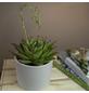 Sukkulente Echeverie, Echeveria agavoides »Lipstick«, grün/rot, Blüten: rosa-Thumbnail