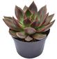Sukkulente Echeverie, Echeveria agavoides »Mars«, grün/rot, Blüten: gelb-Thumbnail
