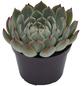 Sukkulente Echeverie, Echeveria chihuahuaensis, grün, Blüten: pink-Thumbnail