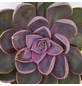 Sukkulente Echeverie, Echeveria cv. »Perle von Nürneberg«, grün, Blüten: rot-Thumbnail