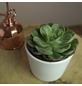 Sukkulente Echeverie, Echeveria cv. »Raindrop«, silbergrün, Blüten: rot-Thumbnail