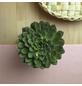 Sukkulente Echeverie, Echeveria pulidonis, grün, Blüten: grün/rot-Thumbnail