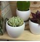 Sukkulente Echeverie, Echeveria runyonii »Topsy Turvy«, grün, Blüten: hellrosa-Thumbnail