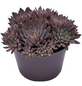 Sukkulente Echeverie, Echeveria rusbyi, violett, Blüten: rot/weiß-Thumbnail