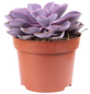 Sukkulente Echeverie, Echeverie »purple pearl«, lila-Thumbnail