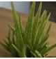 Sukkulente Echte Aloe, Aloe vera, grün, Blüten: gelb-Thumbnail