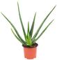 Sukkulente Echte Aloe, Aloe vera, mehrfarbig, Blüten: gelb-Thumbnail