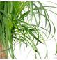 Sukkulente Elefantenfuß, Beaucarnea recurvata »Nolina«, grün-Thumbnail