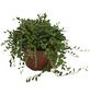 Sukkulente Erbsen am Band, Senecio rowleyanus, grün, Blüten: gelb-Thumbnail