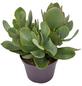 Sukkulente Geldbaum, Dickblatt, Crassula arborescens, grün, Blüten: weiß-Thumbnail