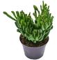 Sukkulente Geldbaum, Dickblatt, Crassula cv. »Green Coral«, grün, Blüten: grün/rot-Thumbnail