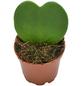 Sukkulente Kleiner Liebling, Hoya kerrii, grün, Blüten: rot/weiß-Thumbnail