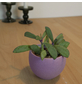 Sukkulente Kreuzkraut, Senecio crasissimus, grün, Blüten: gelb-Thumbnail