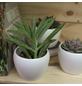 Sukkulente Kreuzkraut, Senecio ficoides, grün, Blüten: rot-Thumbnail