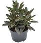 Sukkulente Pandapflanze, Kalanchoe tomentosa cv. »Nigra«, grün, Blüten: grün/rot-Thumbnail