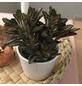Sukkulente Pandapflanze, Kalanchoe tomentosa »Nigra«, grün, Blüten: grün/rot-Thumbnail
