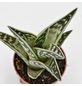 Sukkulente Tigeraloe, Aloe variegata, grün, Blüten: hellrosa-Thumbnail