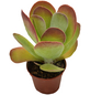 Sukkulente Wüstenkohl, Kalanchoe thyrsiflora, grün, Blüten: gelb-Thumbnail