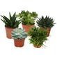 Sukkulenten Pflanze 5-er Set-Thumbnail