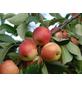 GARTENKRONE Tafelapfel, Malus domestica »Rebella«, Früchte: süß, zum Verzehr geeignet-Thumbnail