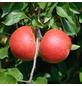 GARTENKRONE Tafelapfel, Malus domestica »Red Elstar«, Früchte: süß, zum Verzehr geeignet-Thumbnail
