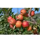 GARTENKRONE Tafelapfel  , Malus domestica »Rubinette (S)«, Früchte: mehrfarbig, süß-säuerlich-Thumbnail