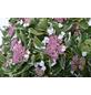 GARTENKRONE Tellerhortensie, Hydrangea macrophylla »Light-O-Day «, weiß, winterhart-Thumbnail