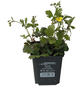Teppich-Golderdbeere Waldsteinia ternata-Thumbnail