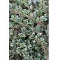 Teppichmispel Cotoneaster horizontalis »Variegata«-Thumbnail