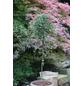 Teppichmispel, Cotoneaster proc. »Queen of Carpets«, Blütenfarbe weiß-Thumbnail