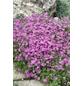 RockCollection® Teppichphlox, Phlox subulata, mehrfarbig, winterhart-Thumbnail