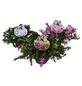 Teppichphlox, Phlox subulata, mehrfarbig, winterhart-Thumbnail