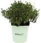 GREENBAR Thymian 3er Set, Thymus Vulgaris, Blütenfarbe: weiß-Thumbnail