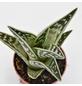 Tigeraloe Aloe variegata-Thumbnail