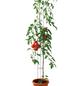 BELLISSA Tomatensäule, Stahl-Thumbnail
