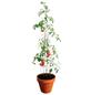 BELLISSA Tomatenturm, Höhe: 120 cm, Stahl-Thumbnail