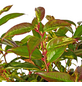 GARTENKRONE Traubenmyrte Leucothoe walteri »Rainbow«-Thumbnail