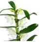 Traubenorchidee, Dendrobium Nobile, Blüte: weiß, mit 1 Trieb-Thumbnail