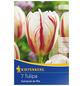 KIEPENKERL Tulpe Carnaval De Rio, Mehrfarbig, 7 Blumenzwiebeln-Thumbnail