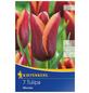 KIEPENKERL Tulpe Muvota, Mehrfarbig, 7 Blumenzwiebeln-Thumbnail