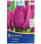 KIEPENKERL Tulpe Purple Prince, Lila, 7 Blumenzwiebeln-Thumbnail
