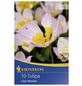KIEPENKERL Tulpen bakeri Tulipa-Thumbnail