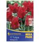 KIEPENKERL Tulpen greigii Tulipa-Thumbnail