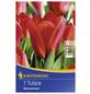 KIEPENKERL Tulpen kaufmanniana Tulipa-Thumbnail